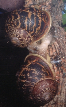 Helix aspersa mating