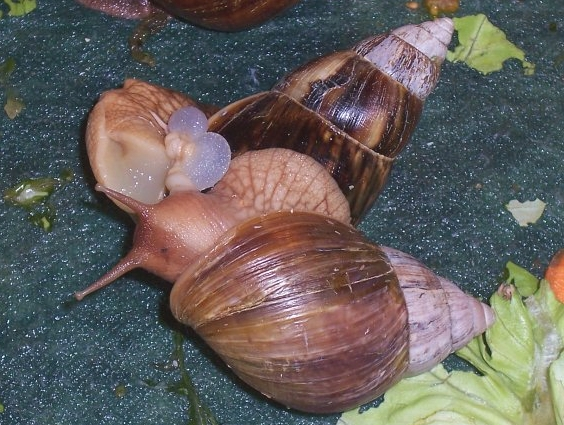 Breeding - Chapter 7  / Comprehensive Snail Care Guide