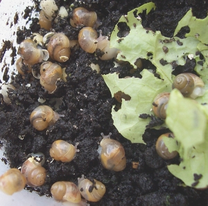 how to take care of snail eggs