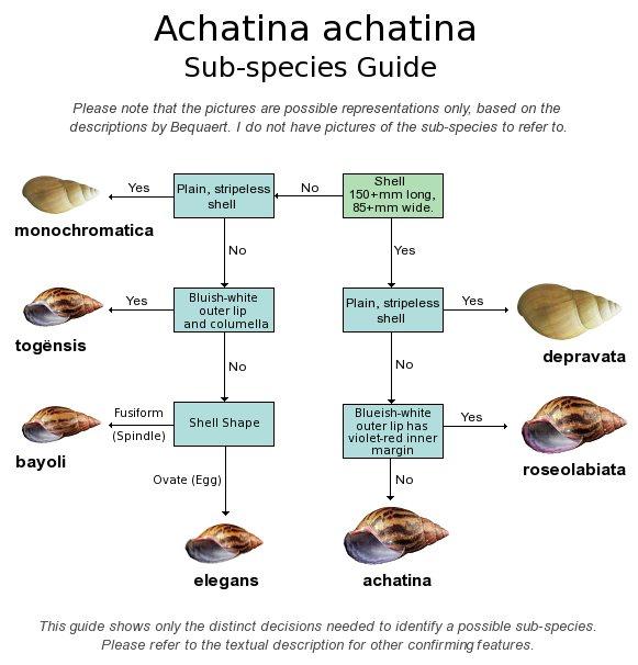 Achatina Achatina Species