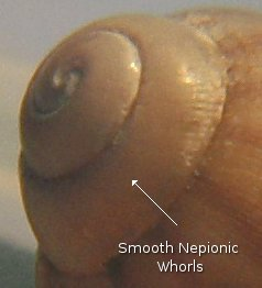 snails various species and characteristics The brown ramshorn snail and pond snail are two species that can easily become pests  various freshwater snails  michael care of freshwater aquarium snails.