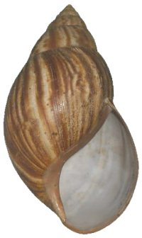 Immaculata shell