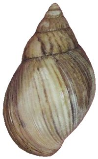 Panther brown-form shell