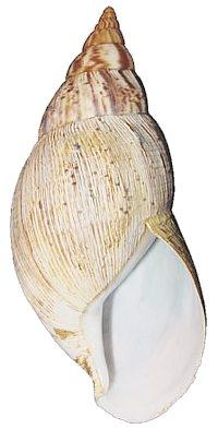 Achatina reticulata Var_reticulata_shell_01