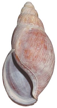 Bicarinata shell