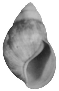 Candefacta shell