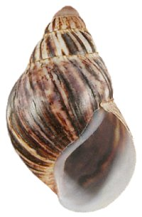 Marginata shell