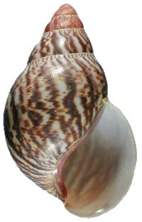 Suturalis shell