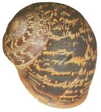 Helix aspersa shell